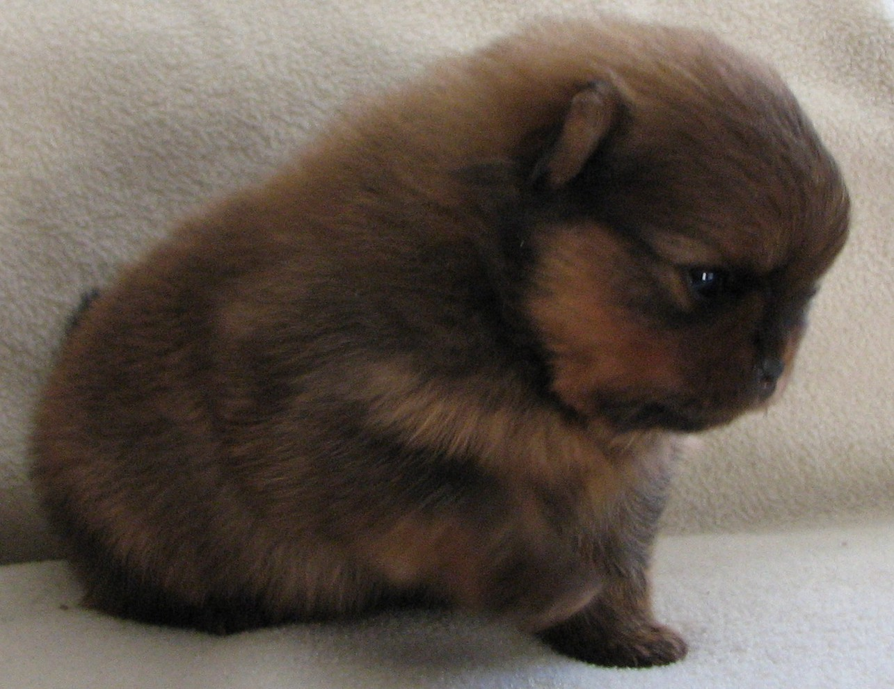 i absolutely love this little guy and look at the gorgeous red sable color - Sable Color